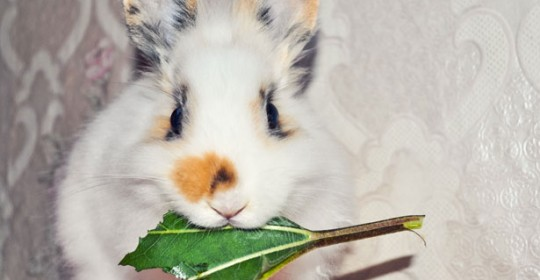 Information regarding Rabbit Vaccinations